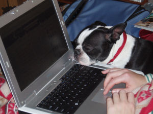 This is my main assistant, Gizmo the Boston Terrier - he has his own website!